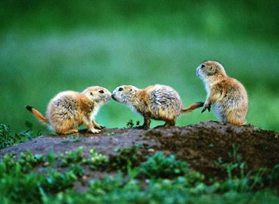 """动物""""建筑师"""":草原上的犬鼠城市"""
